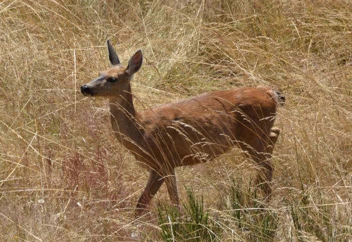 deer_1_fort_ebey_state_park_wa_20140707