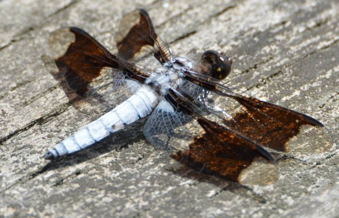 Dragonfly at Burnaby Lake