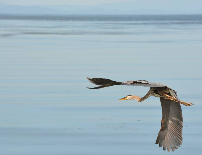 heron in flight at birch bay