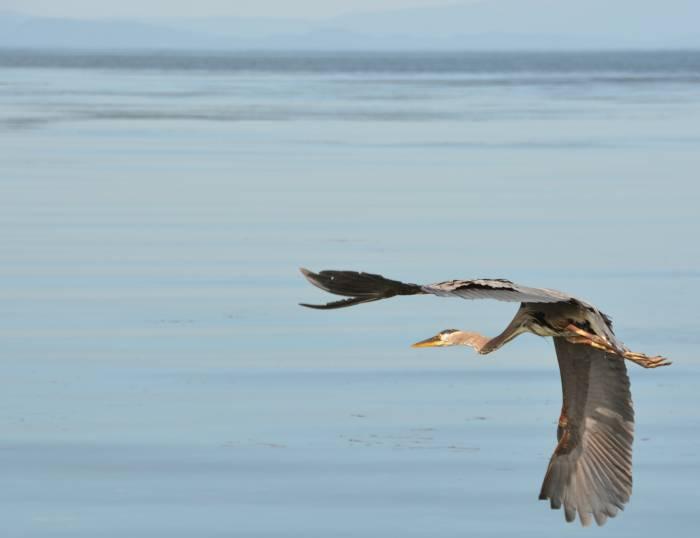 heron in flight at birch bay