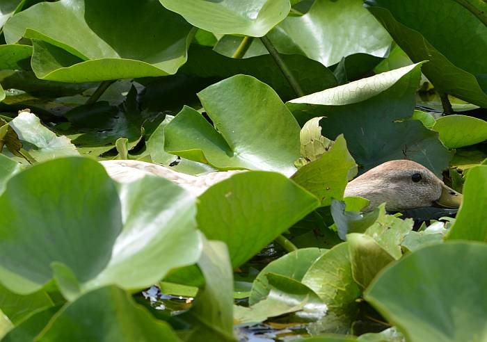 Ducks in lilly pads