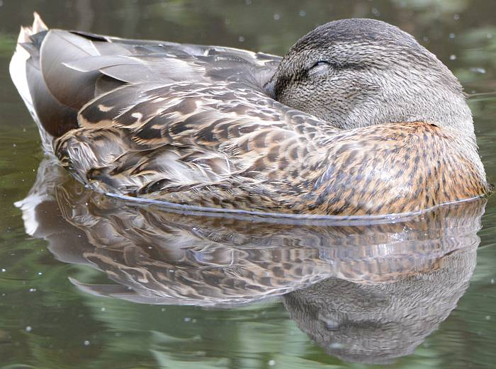 Sleepy duck at Burnaby Lake