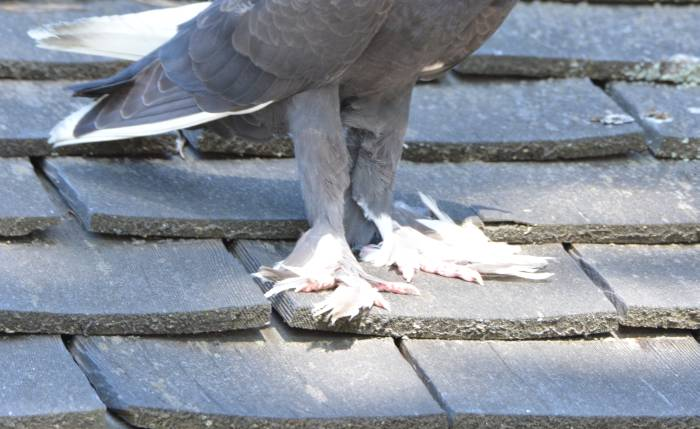 fancy pigeon feet