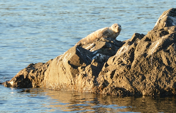 deception_pass_seal_pup_20140914