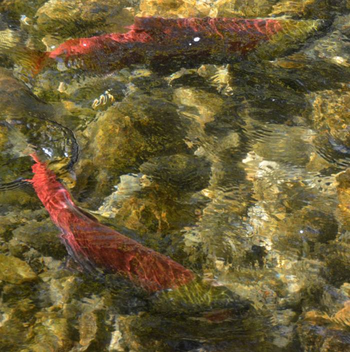 adams river sockeye run 2014