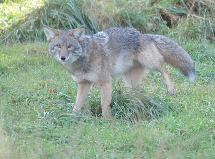 Coyote marking