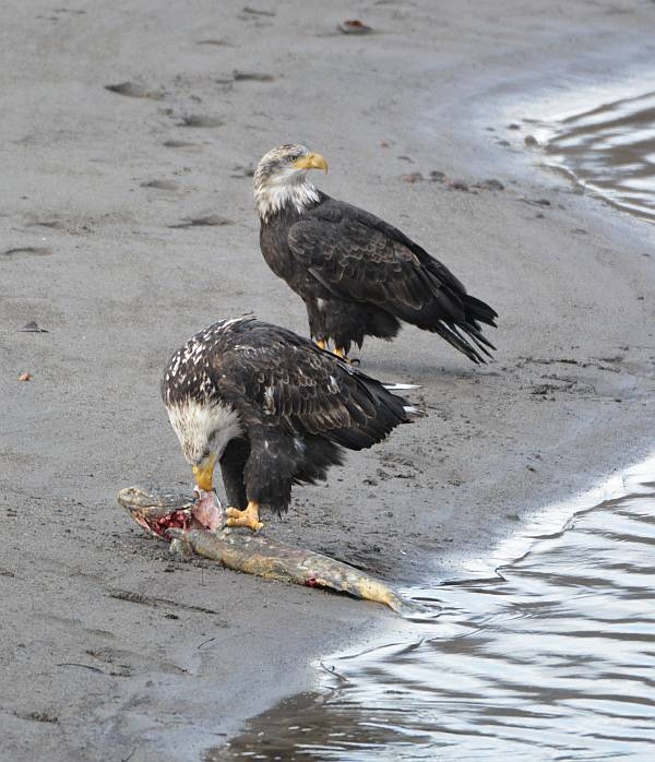 eagle_squamish_river__chum_20141122