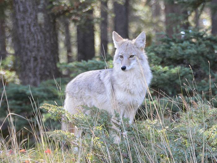 Coyote Banff AB