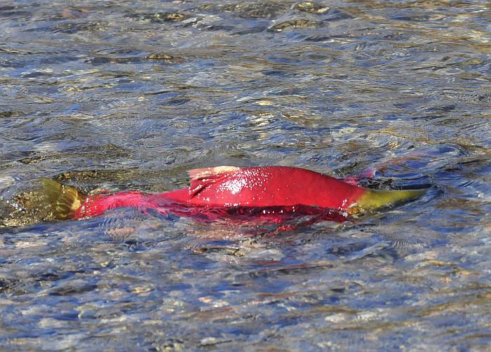 sockeye adams river