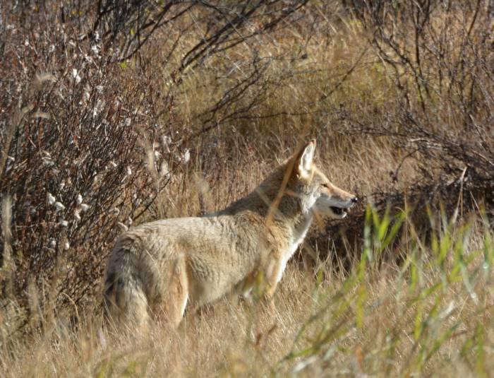 coyote banff