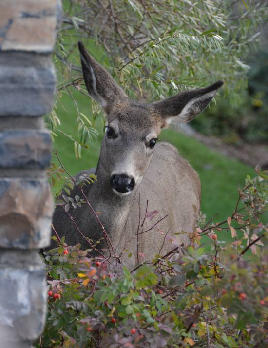 Deer Banff