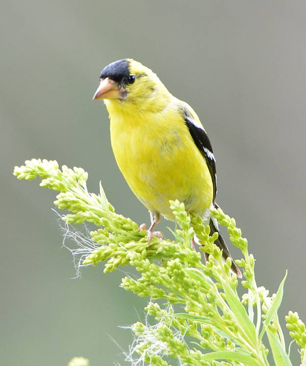 goldfinch elgin surrey