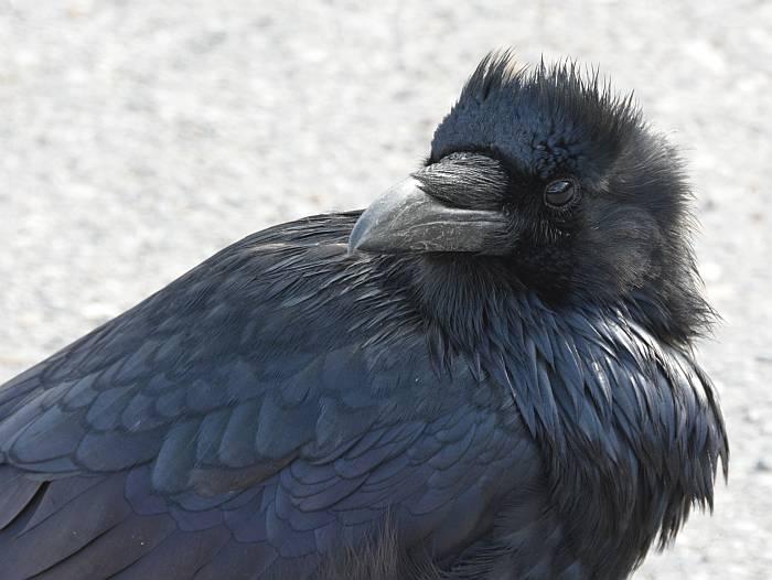 Raven Banff