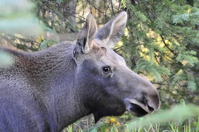 moose jasper
