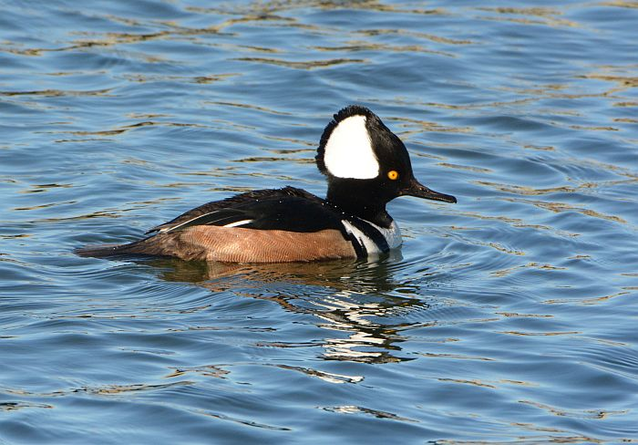 steveston bc hooded merganser