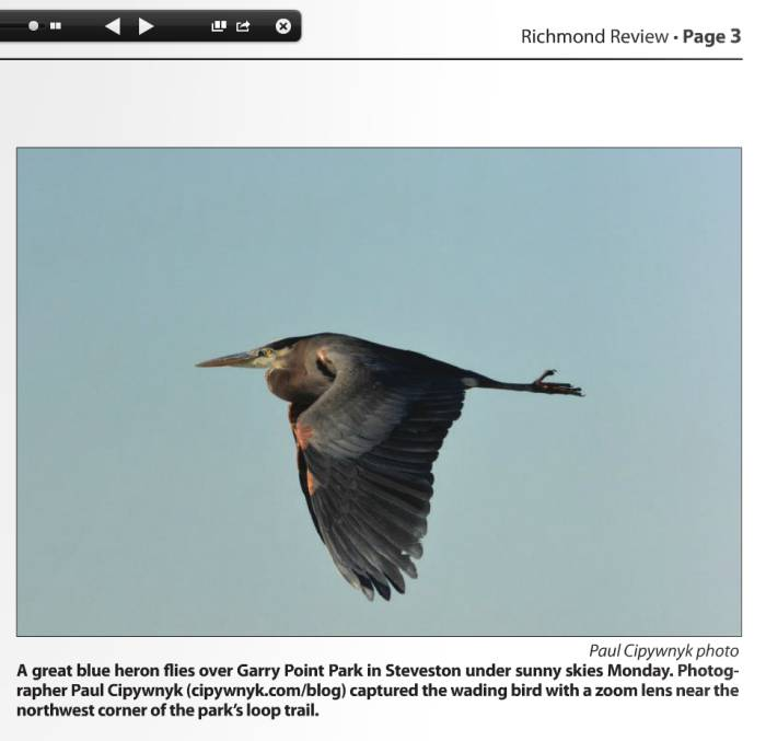 My heron photo in Richmond Review