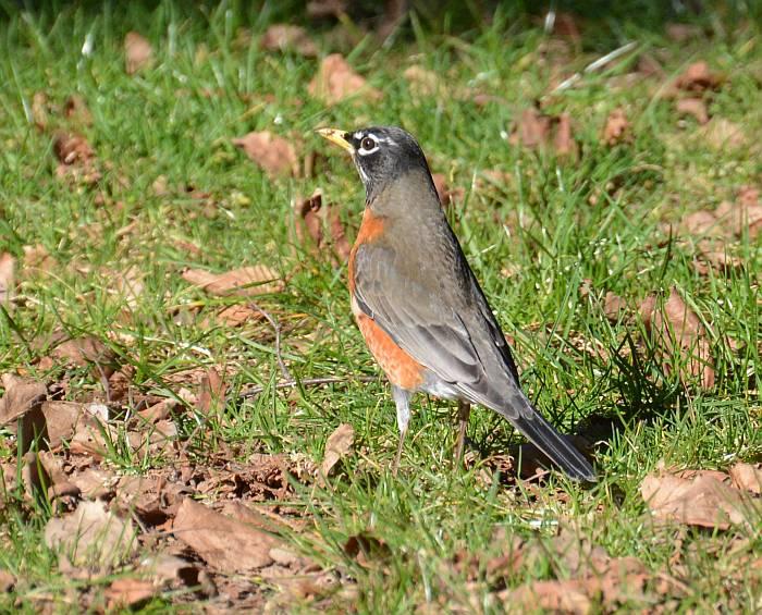 Alice Lake Provincial Park robin