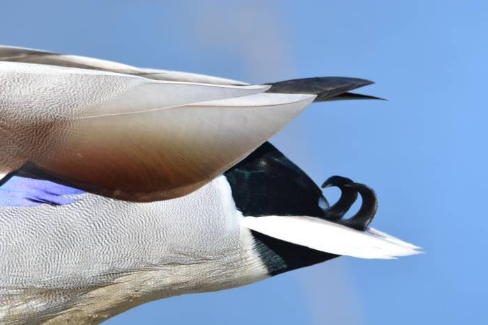 mallard tail