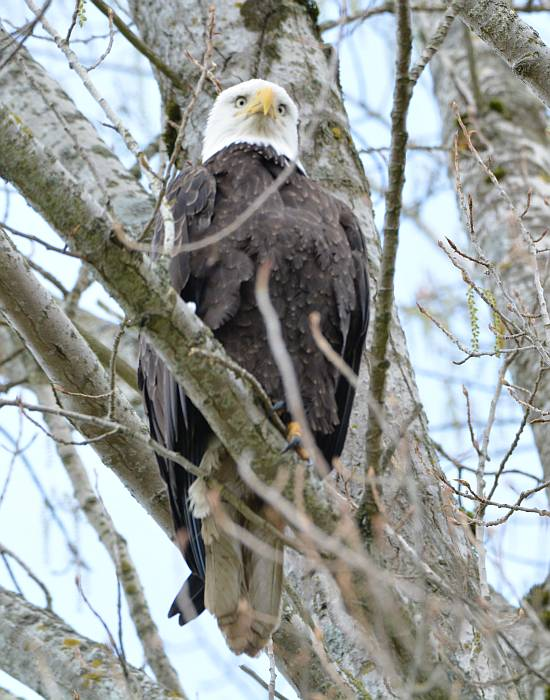 bald eagle tsawwassen