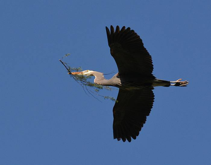 deer lake heron in flight