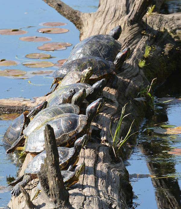 deer lake turtles