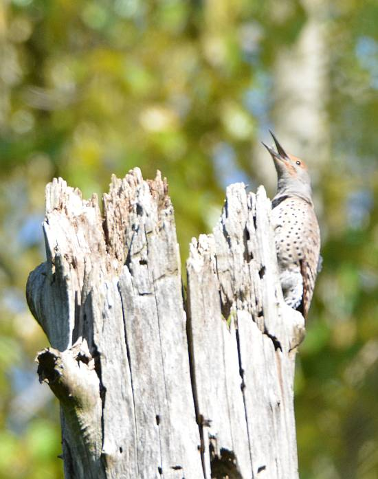 burnaby foreshore park northern flicker
