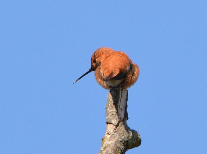 burnaby fraser foreshore hummingbird