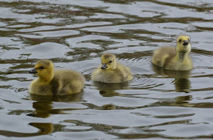 Burnaby Lake goslings