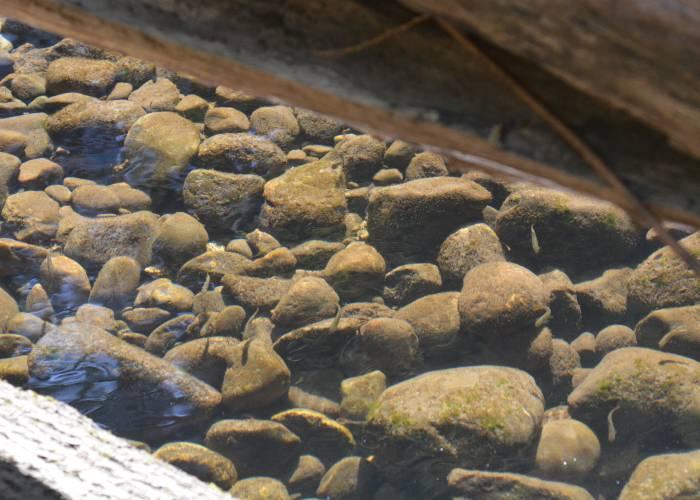 coho fry Byrne Creek