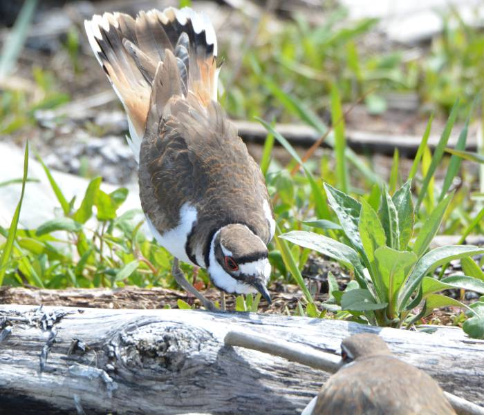 killdeer boundary bay