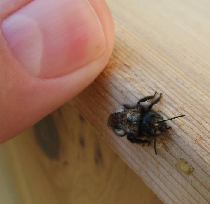 mason bee my thumb