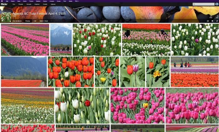 tulips agassiz bc