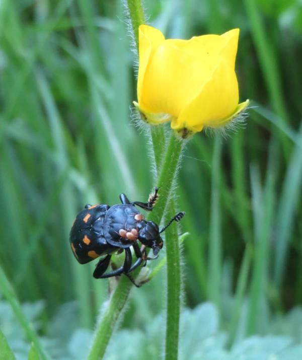 beetle burnaby fraser foreshore park