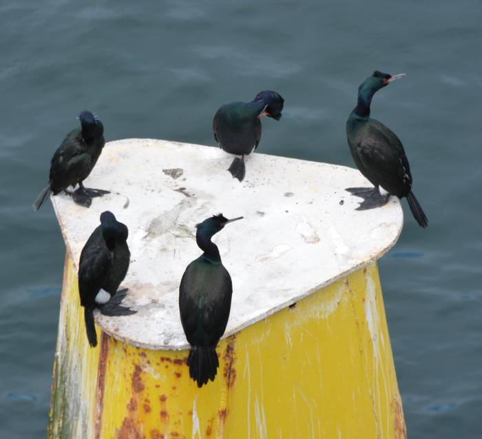 cormorants swartz bay bc