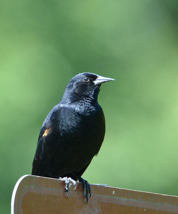 Burnaby Foreshore Park blackbird
