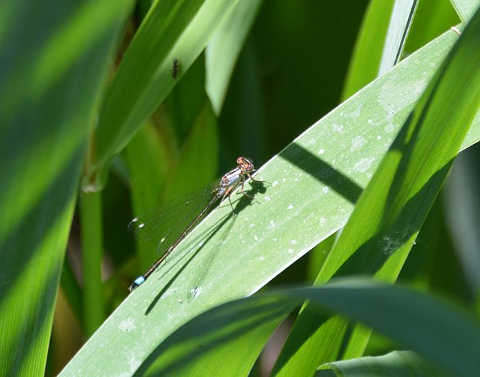 Buranby Foreshore Park damselfly