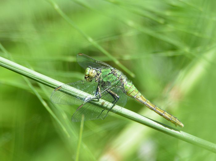 Burnaby Foreshore Park dragonfly