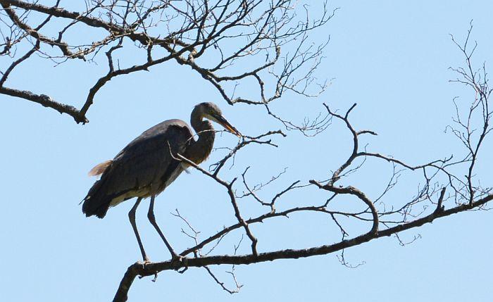 Burnaby Foreshore Park heron