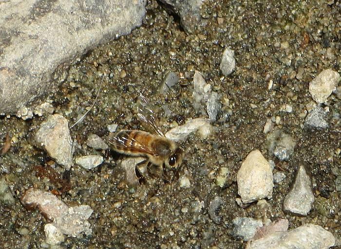water-seeking bees