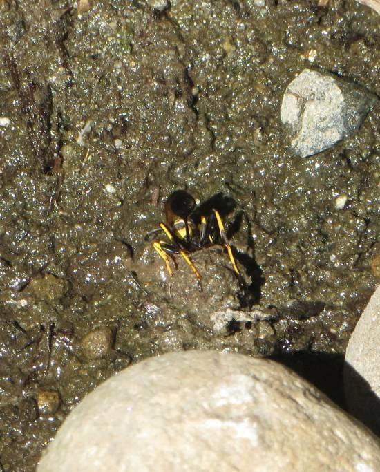 wasp rolling mud