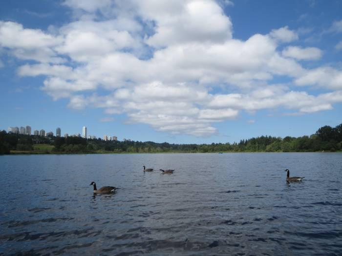 Deer Lake geese