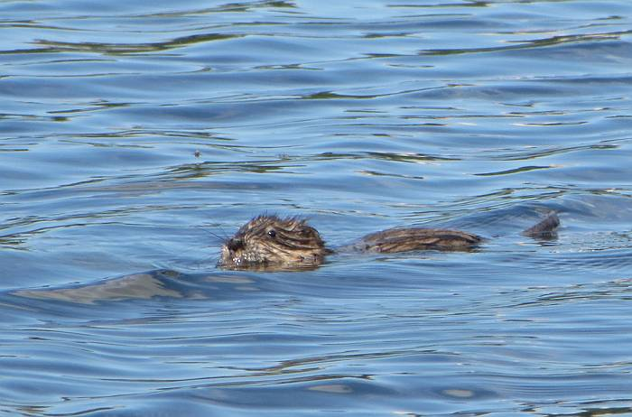 Deer Lake furry water beastie