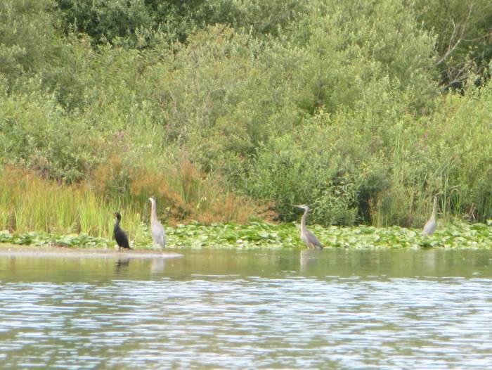 Deer Lake cormorant and herons