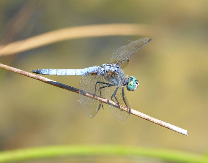 dragonfly burnaby fraser foreshore
