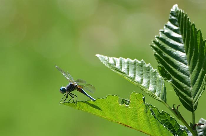 dragonfly burnaby fraser foreshore