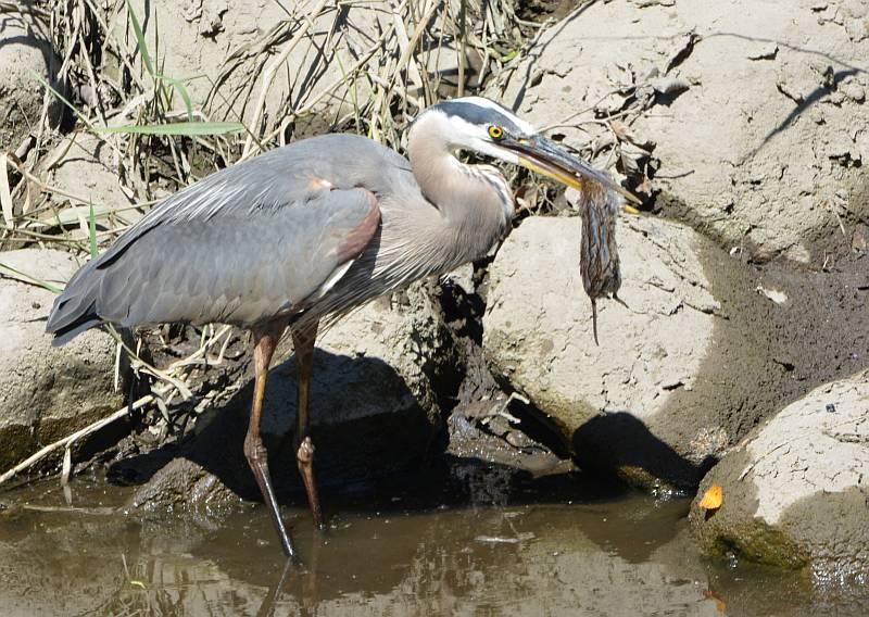 heron catches vole or other beasie