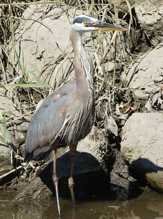 heron with distended neck after swallowing prey