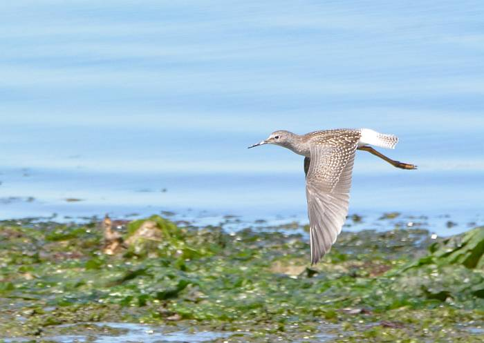 shorebird flight