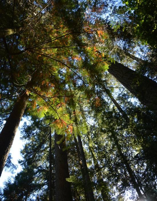 Trees Capilano Park