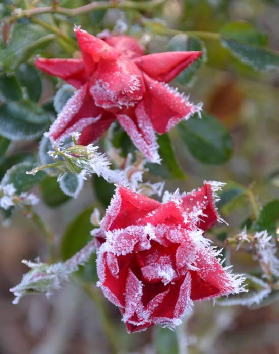 Frosty Ft. Langley rose